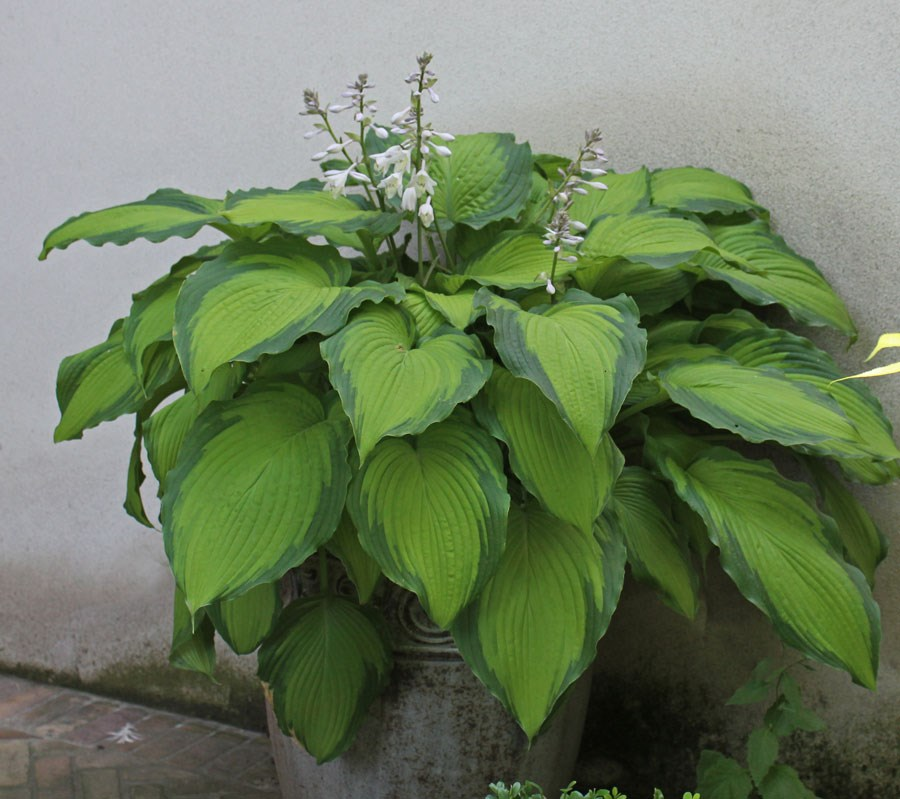 Hosta-'Journeys-End'
