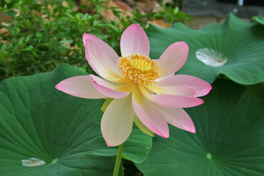 Nelumbo-'Carolina-Queen'-(26)
