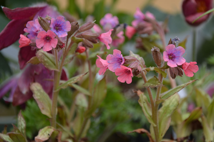 Pulmonaria-'Bubble-Gum-(2)