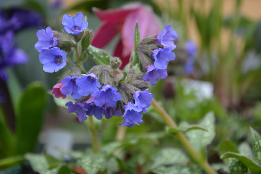 Pulmonaria-'Trevi-Fountain'-(2)
