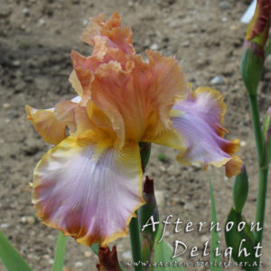 Iris-BEH-'Afternoon-Delight'-(2)
