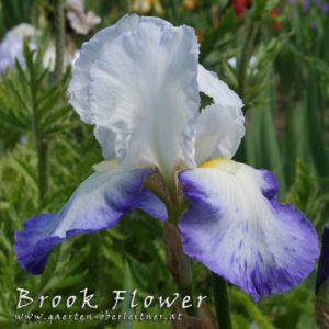 Iris-BEH-'Brook-Flower'-(8)