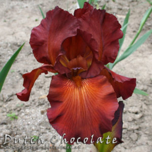 Iris-BEH-'Dutch-Chocolate'-(1)