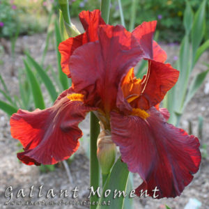 Iris-BEH-'Gallant-Moment'-(2)