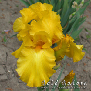 Iris-BEH-'Gold-Galore'-(6)