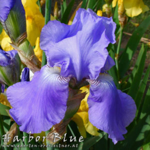 Iris-BEH-'Harbor-Blue'-(4)