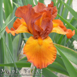 Iris-BEH-'Maple-Treat'-(3)