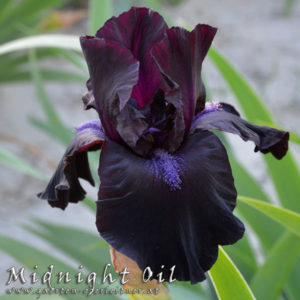 Iris-BEH-'Midnight-Oil'-(3)