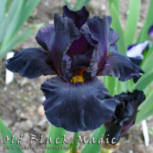 Iris-BEH-'Old-Black-Magic'-(2)
