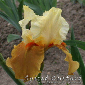 Iris-BEH-'Spiced-Custard'-(5)