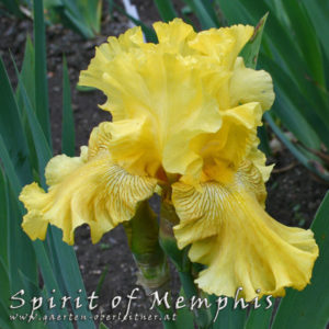 Iris-BEH-'Spirit-of-Memphis'-(4)