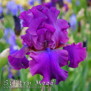 Iris-BEH-'Sultry-Mood'-(7)
