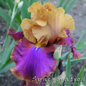 Iris-BEH-'Syncopation'