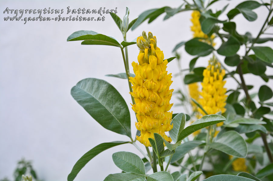 Argyrocytisus-battandieri-(2)