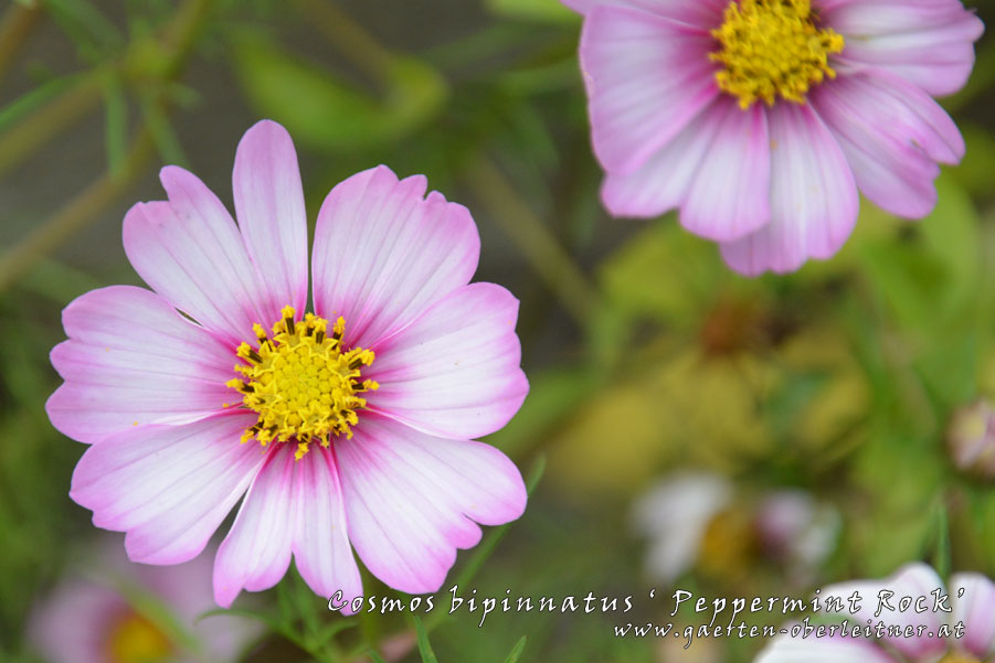 Cosmos-bipinnatus-'Peppermint-Rock'-(3)