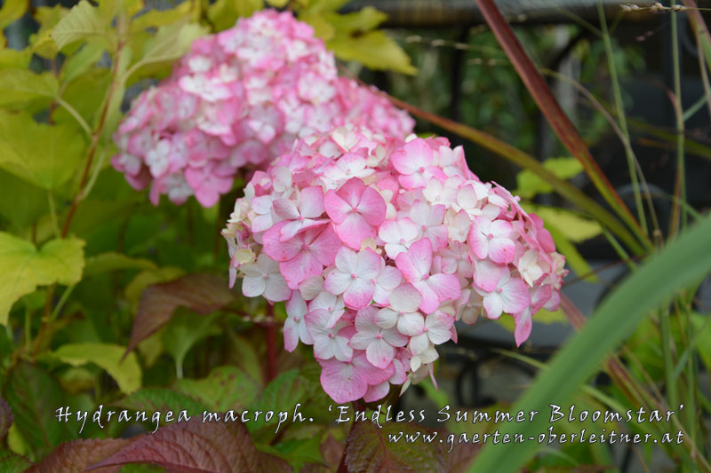 Hydrangea-macrophylla-'Endless-Summer-Bloomstar'