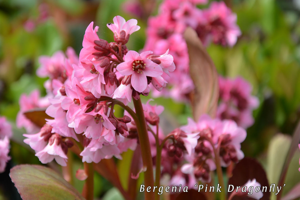 Bergenia-'Pink-Dragonfly'