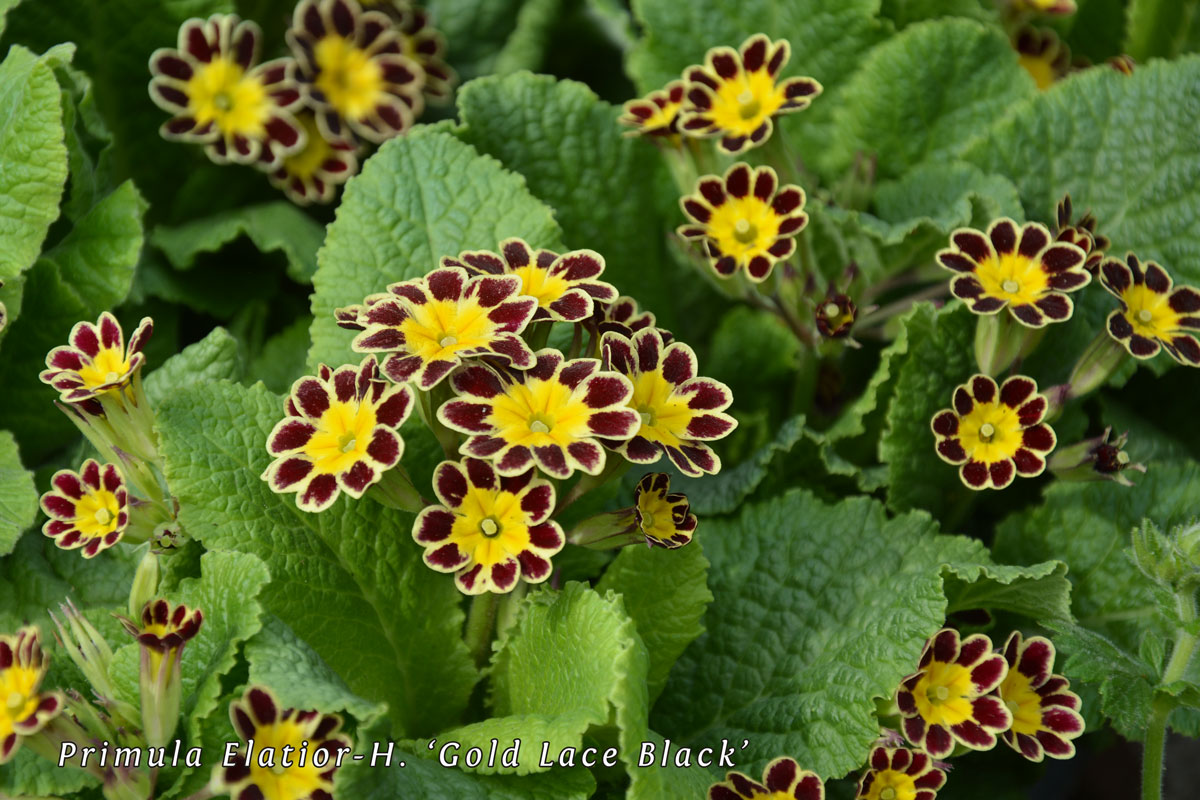 Primula-Elatior-H-'Gold-Lace-Black'