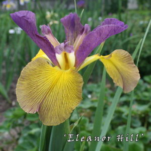 Iris-spuria-'Eleanor-Hill'-(1)