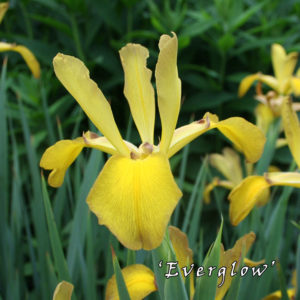 Iris-spuria-'Everglow'-(2)