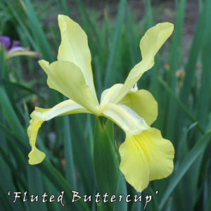 Iris-spuria-'Fluted-Buttercup'