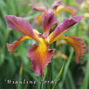 Iris-spuria-'Highline-Coral-(1)