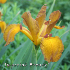 Iris-spuria-'Imperial-Bronze'-(11)
