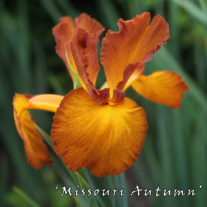 Iris-spuria-'Missouri-Autumn'