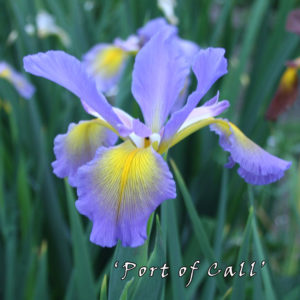 Iris-spuria-'Port-of-Call'