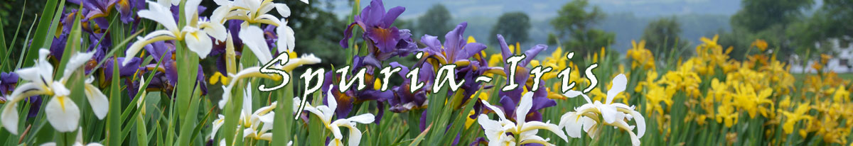 Banner-Spuria-Iris
