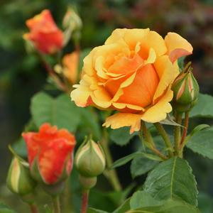 Rosa-'Postillon'-(2)