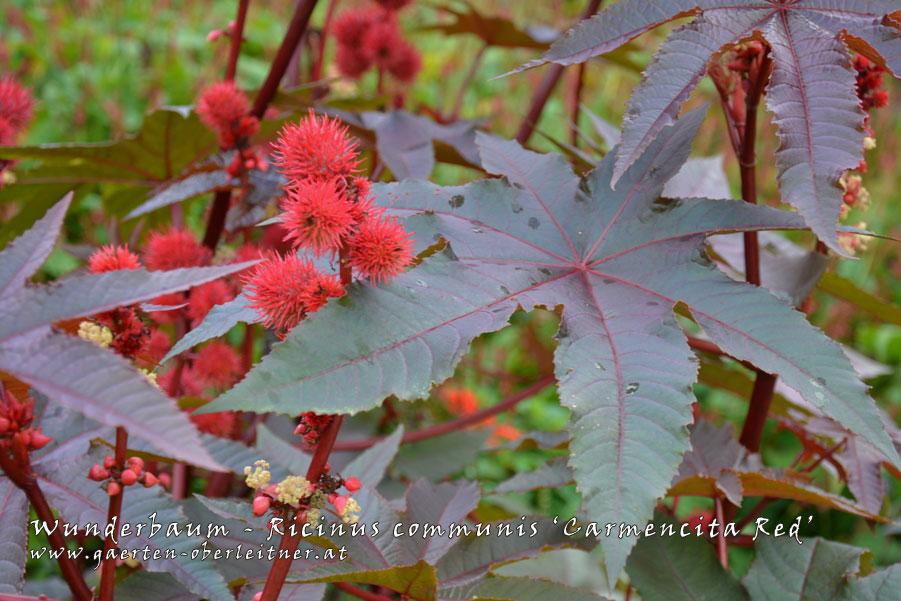Ricinus-communis-'Carmencita-Red'-(8)