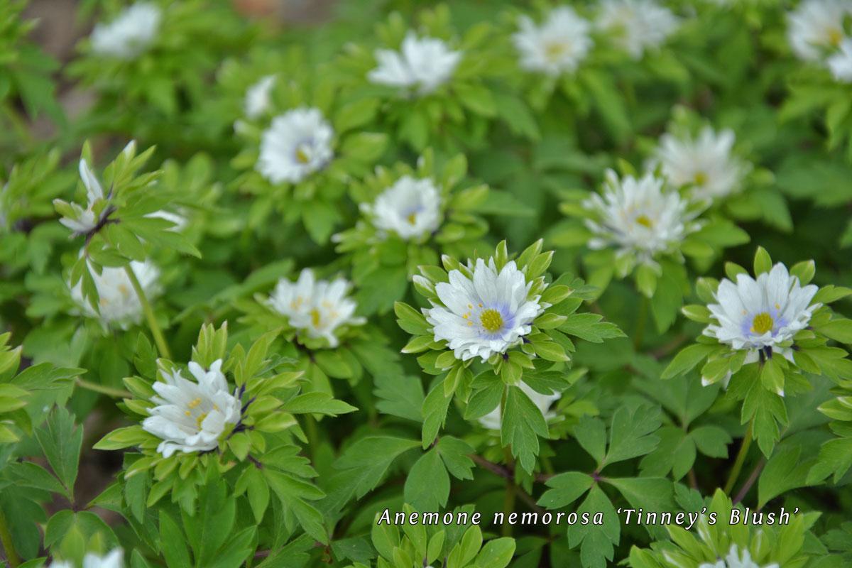 Anemone-nemorosa-unter-Cotoneaster-(2)