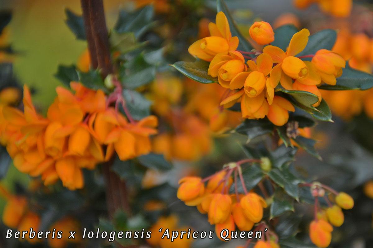 Berberis-lologensis-'Apricot-Queen'-(5)