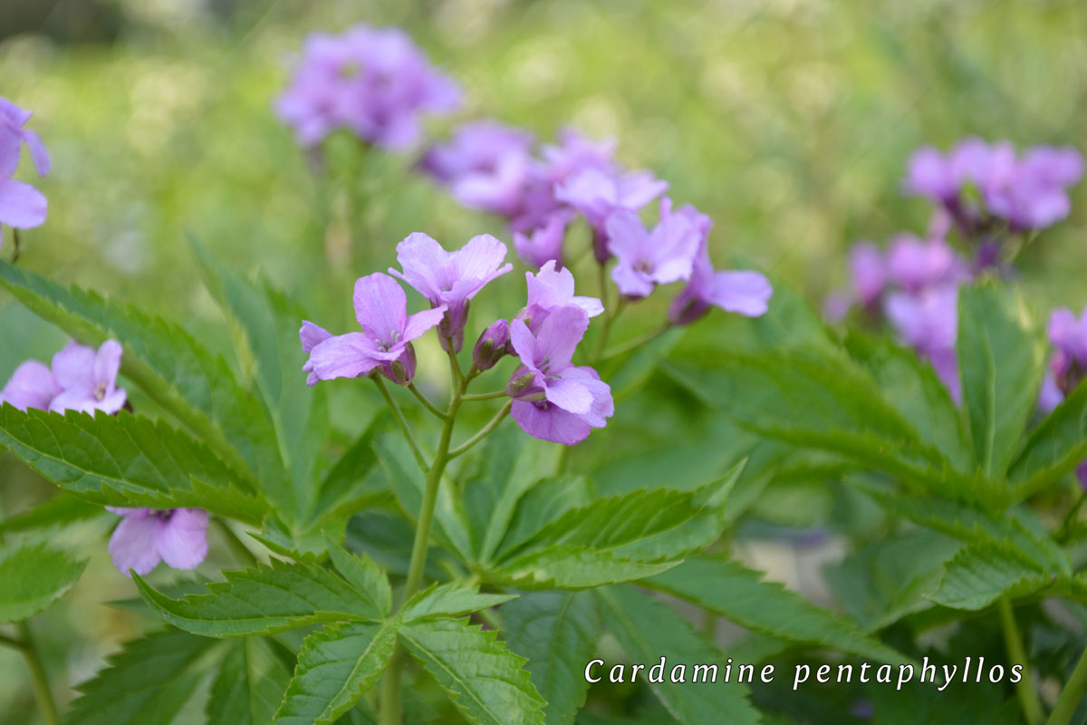Cardamine-pentaphyllos-(4)