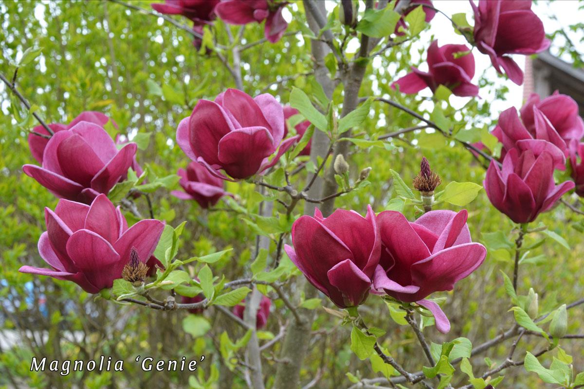 Magnolia-'Genie'