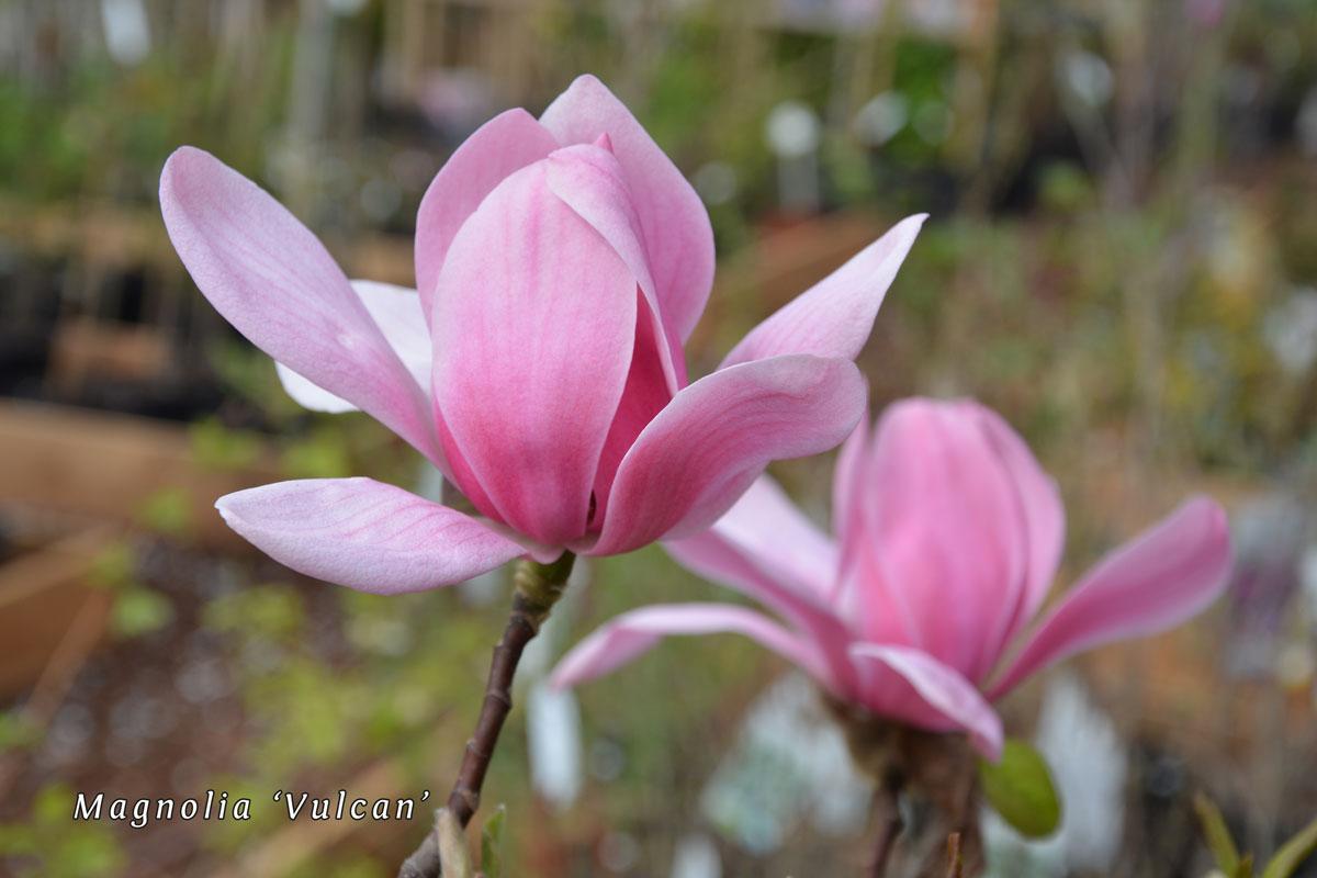 Magnolia-'Vulcan'-(2)