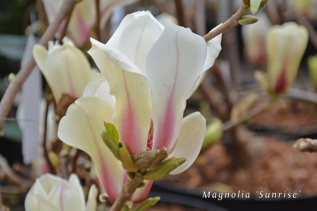 Magnolia-concinna-'Sunrise'-(3)