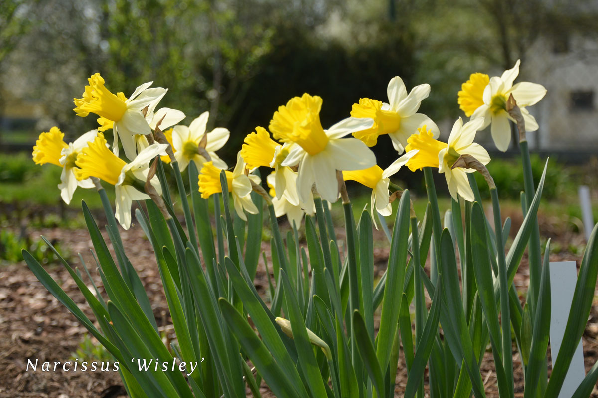Narcissus-'Wisley'-(6)