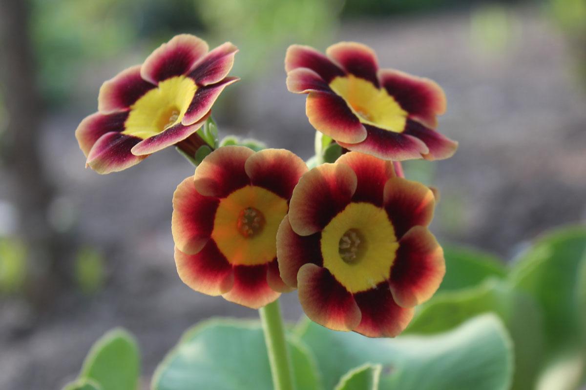 Primula-pubescens-'Juppi'-(1)