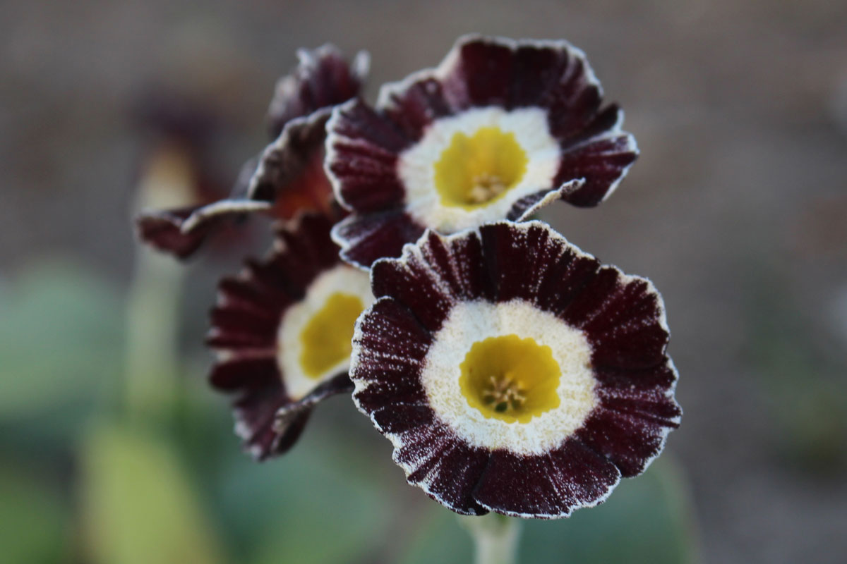 Primula-x-pubescens-'Liesel'-(2)