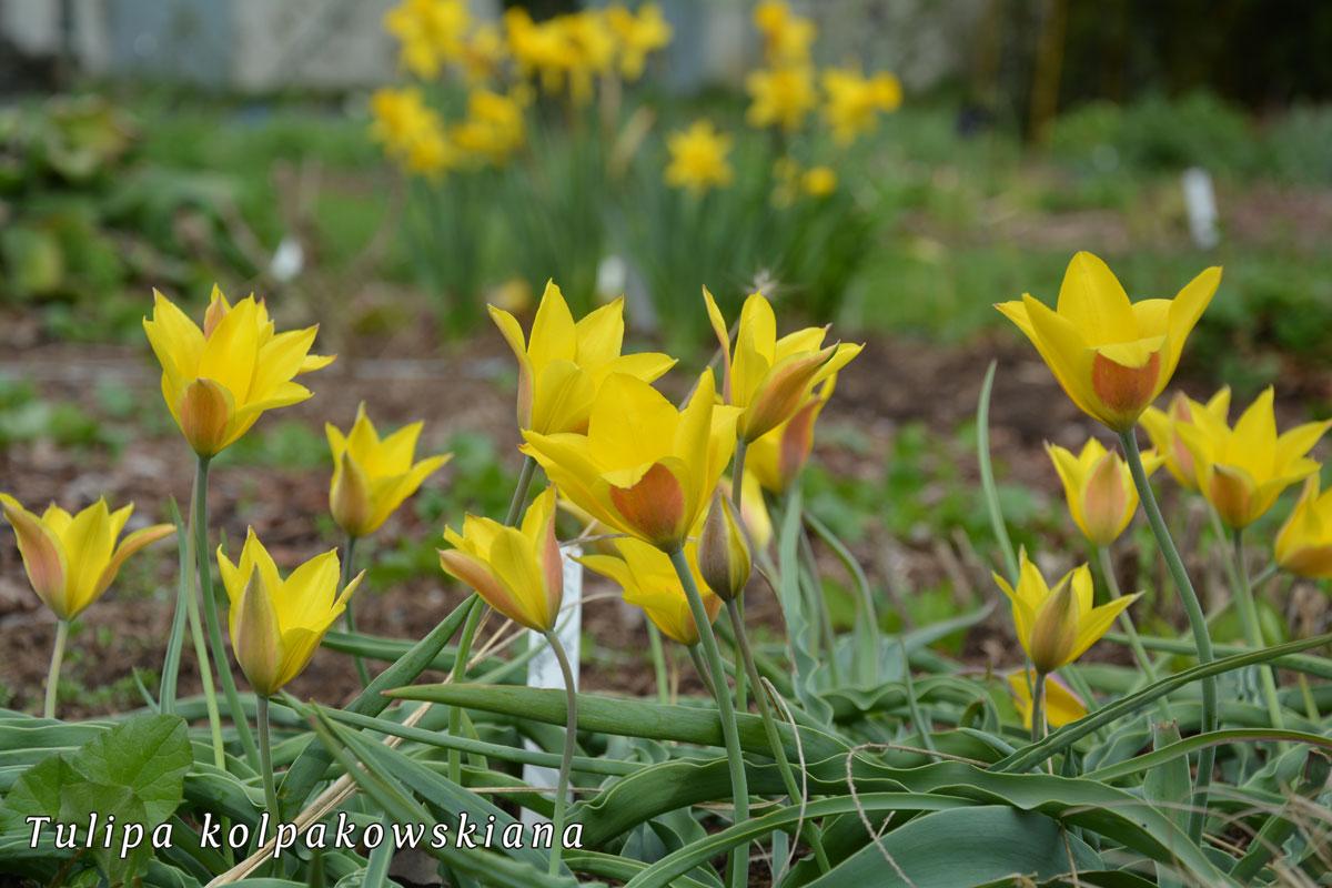 Tulipa-kolpakowskiana